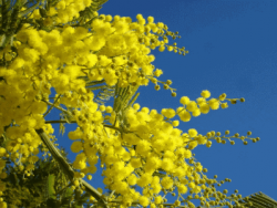 Acacias and Wattles Horticulture Course