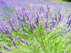 Lavender is used for aromatherapy.
