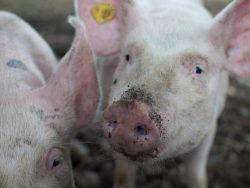 Pig Care Course