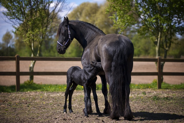 Horse Breeding Course Online