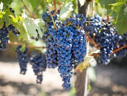 Viticulture Course Online - Learn To Grow Wine Grapes.