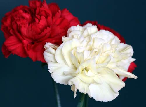 Carnations Horticulture Course Online