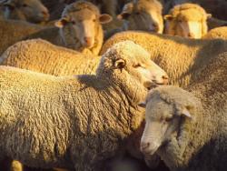 Sheep Husbandry Course.