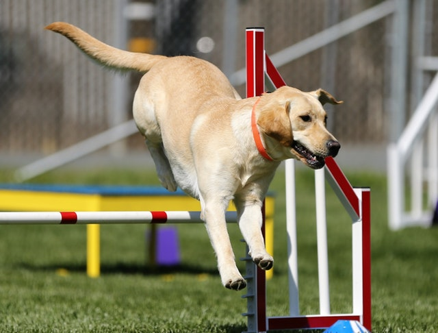 Dog Training Course Online
